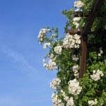Rose arbor — Stock Photo #75589195