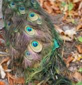 Elegant fluffy peacock (Pavo Cristatus) — Stockfoto