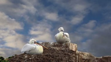 Family of two pelicans nest at the blue sky — Stock Video