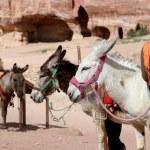 Tourist and Donkeys amongst the sandstone desert landscape of Petra, Jordan — Stock Photo #66169247