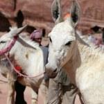 Donkeys amongst the sandstone desert landscape of Petra, Jordan-- it is a symbol of Jordan, as well as Jordan's most-visited tourist attraction — Stock Photo #66169249