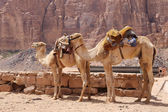 Camel in the Wadi Rum Desert (also known as The Valley of the Moon) is a valley cut into the sandstone and granite rock in southern Jordan 60 km to the east of Aqaba — Stock fotografie