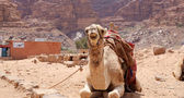 Camel in the Wadi Rum Desert (also known as The Valley of the Moon) is a valley cut into the sandstone and granite rock in southern Jordan 60 km to the east of Aqaba — Zdjęcie stockowe