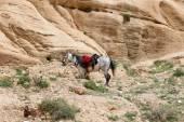 Bedouins horses in Petra,  Jordan — Стоковое фото