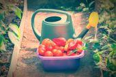 Domates ve biber hasat — Stok fotoğraf