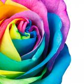 La rainbow rose — Foto Stock