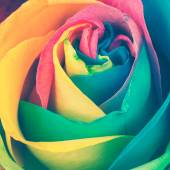 Rainbow rose — Stock Photo