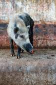Wild pig on stone — Stock Photo
