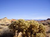 Cholla in Valley of Fire State Park Nevada — Stock Photo