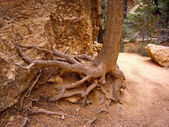 Tree roots cling to crumbling sandstone — Stock Photo