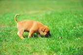 Puppy in field — Stock Photo