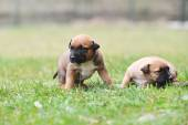 Puppies in field — Stock Photo