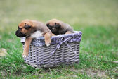 Puppies in box — Stock Photo