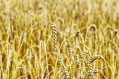 Colture di grano — Foto Stock