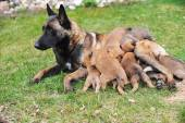 Dog  with puppies — Stock Photo