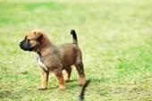 Puppy belgian shepherd malinois — Stock Photo