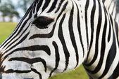 Zebra in field — Stock Photo
