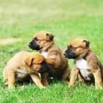 Puppies of belgian shepherd malinois — Stock Photo #61637065