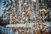 Reeds on frozen pond — Stock Photo