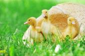 Three  fluffy  ducklings — Stock Photo