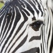 Zebra in zoo — Stock Photo #62783399
