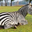Zebra in zoo — Stock Photo #62783705