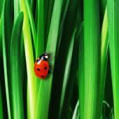 Coccinella sui fogli verdi freschi — Foto Stock