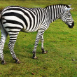 Zebra grazing on grass — Stock Photo #65427621
