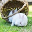 Two white rabbits on green lawn — Stock Photo #71091831