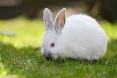 Bílý králík na trávě — Stock fotografie