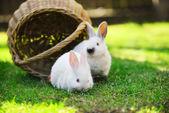 White rabbits on lawn — Stock Photo