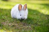 White rabbit in grass — Stock Photo