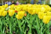 Great amount of yellow tulips — Stock Photo