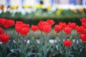 Great amount of red tulips — Stock Photo