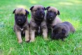 Puppies of belgian shepherd — Stock Photo