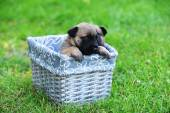 Puppy of belgian shepherd in box — Stock Photo