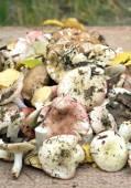 Wiele grzybów jadalnych surowców na brązowy deski drewniany — Zdjęcie stockowe