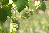 Green grapes ripen on branch of the vine on hot summer day — Stock Photo