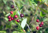 Berries chokeberry ripens in early autumn in nature — Stock Photo