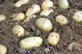 Crop of many ripe young potatoes tubers in ground closeup — Stock Photo
