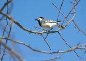 Uccello ballerina bianca si siede sul ramo di un albero in primavera — Foto Stock