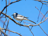 White wagtail bird sits on tree branch in spring — Stock Photo