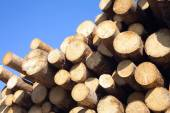 Top of pine logs stacked closeup isolated on blue — Photo