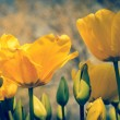 Yellow tulips — Stock Photo #72954119
