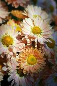 Chrysanthemum flower bed — Stock Photo