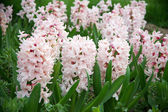 Hyacinths on flowerbed — Stock Photo