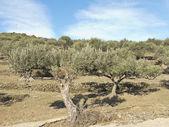 Spanish olive trees. — Foto de Stock