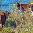 Herd of cows grazing near blue lake — Stock Photo #62155403