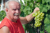 Man in vineyard picking grapes — Stock Photo