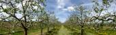 Panorama of a  blossoming apple orchard — Stock Photo